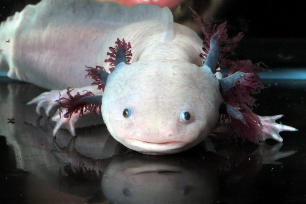 The Mexican axolotl has fascinating healing powers, with an ability to regrow limbs, parts of its brain and spinal ...