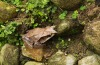 Leaf-horned frog: This amphibian lurks on the forest floor, but its scaly skin camouflages it against the surrounding ...