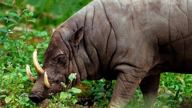 Babirusa: The babirusa's tusks have inspired masks among the islanders who share the pig-deer's habitat, and have been ...
