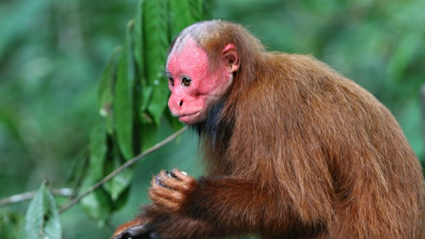 Bald uakari: South Americans reputedly nickname this poor bald monkey 'mono angles', or 'English monkey', in honour of ...