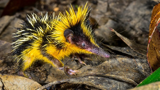 Lowland streaked tenrec: This spiny mammal bristles with barbed quills that it uses to ward of predators - mostly ...