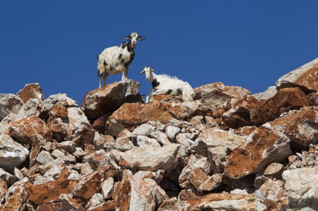 On the Greek island of Arki, the goats are said to produce the best feta cheese in the world. After milking time, the ...