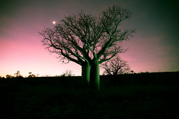 Illuminated boab tree at dusk.