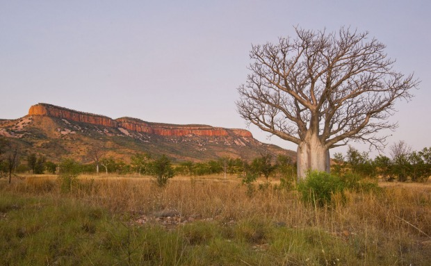 Boab tree and ranges.