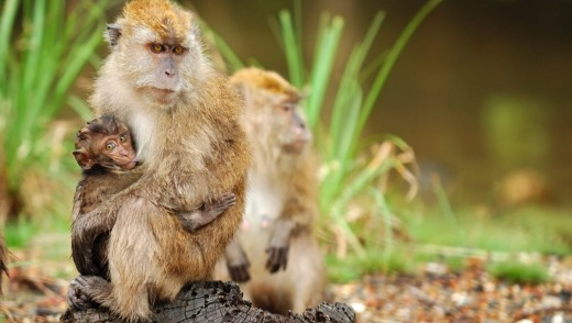 A monkey family spotted in the wild in an Island near Langkawi Island, Malaysia.