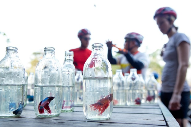 Siamese fighting fish for sale at a roadside stall.