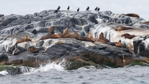 MONTAGUE ISLAND, NEW SOUTH WALES: Montague Island Nature Reserve, near Narooma on the south coast of NSW, is home to ...