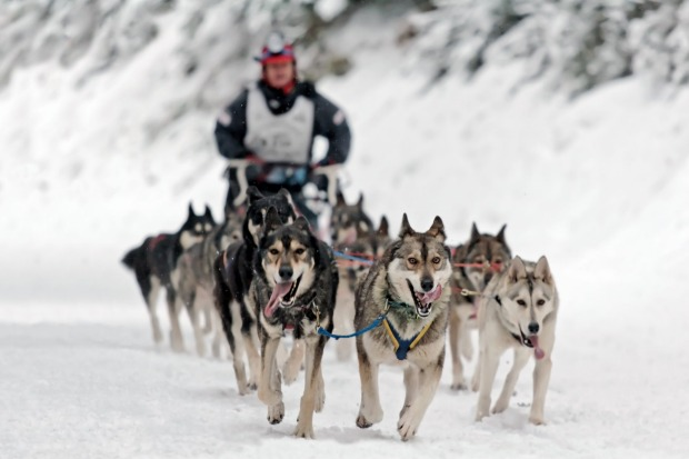 GOING TO THE DOGS, ALBERTA, CANADA. Dog sledding is a heartwarmer straight from the deep freeze, a bracing but snug ...