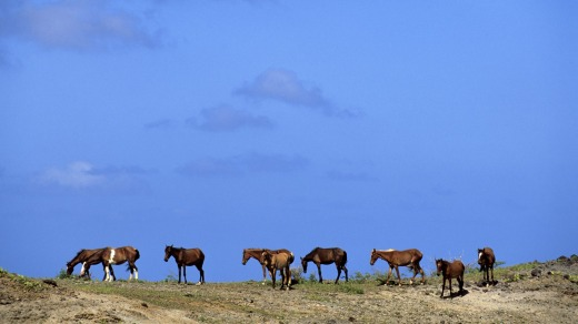 Wild horses grazing in the Marquesas.