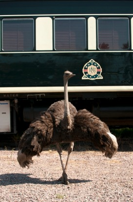 An ostrich shows off in front of the Pride of Africa.