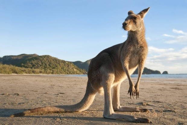 An eastern kangaroo on the beach at Cape Hillsborough. There's a delicious simplicity to this lonely finger of the ...