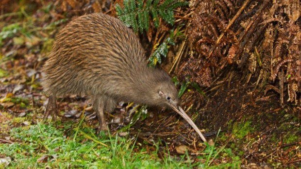 Image result for new zealand kiwi