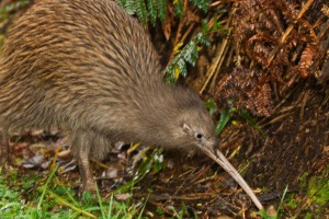 The South Island brown kiwi (Apteryx australis) on Stewart Island, New Zealand.