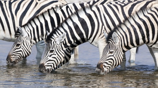 Zebras drinking at a waterhole, Etosha National Park, Namibia.
