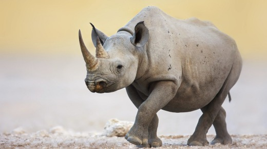 Black Rhinoceros walking on salty plains of Etosha National Park.