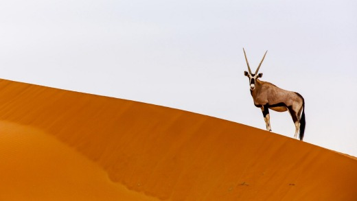 An oryx on the crest of an enormous sand dune in the Namib Desert.