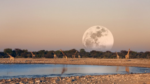 The moon rising over a group of Giraffe at dusk (Giraffa camelopardalis) at a waterhole in Etosha National Park in Namibia.