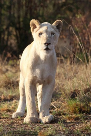 Bella the White Lion at the Ukutula Lion Park and Lodge.