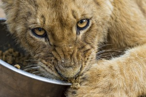 A lion cub who doesn't want to share his meal.