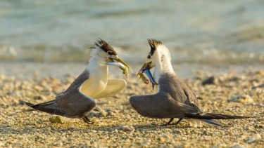 """Mine is Bigger"" These gorgeous Crested Terns were comparing catches on Lady Elliot Island in February. These birds were ..."