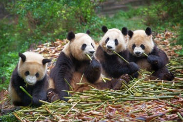 A highlight of our trip to China was a visit to the Chengdu's Panda Breeding and Research Centre in the Sichuan Province ...