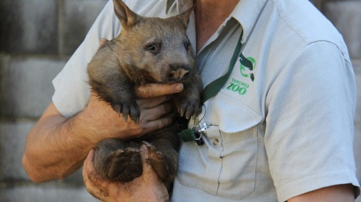 Wombats ... cuter than koalas.