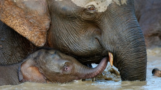 Mother and baby elephant bathe in the Kinabatangan River.