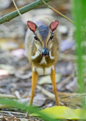 The tiny Lesser Mouse Deer.