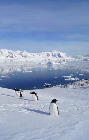 Gentoo penguins at Neko Harbour.