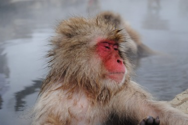 In 2014 I travelled to Japan for two weeks. One of the highlights was visiting these Snow Monkeys as they relaxed in ...