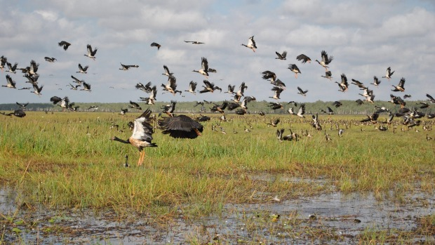 A flock of native magpie geese over the sodden floodplains.