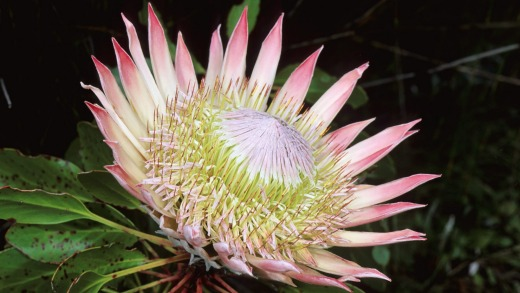 A King Protea in bloom.
