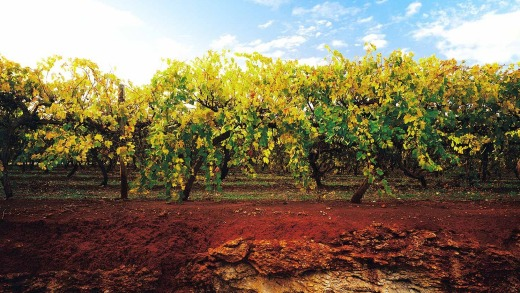 World renowned … the red soil of the Limestone Coast.