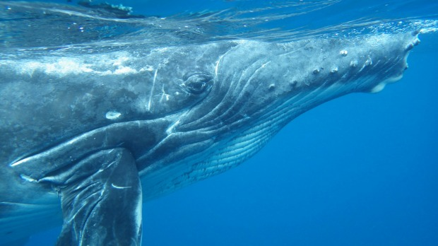 Who is watching who? Tonga. On a recent Trip to Tonga, I was curious to encounter the whales: a long-standing dream of ...