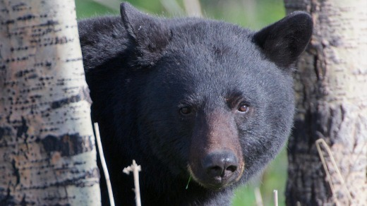 A black bear in the woods.