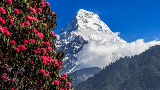 Rhododendron and Annapurna South in Nepal.