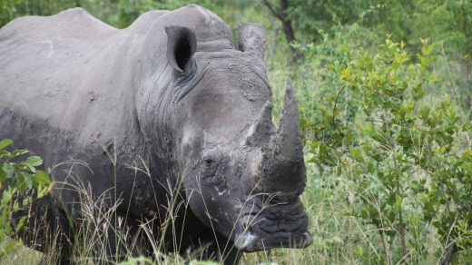 A rhino in Kruger National Park, South Africa.