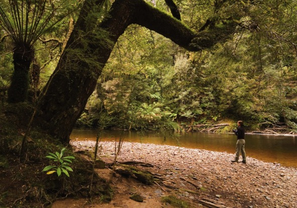 The Tarkine, in the state's remote north-west, is Tasmania's green heart, home to the tallest hardwood trees in the world.