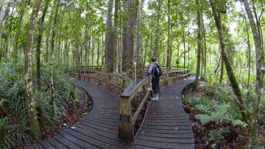 Boardwalk circling the Four Sisters - a stand of four kauri trees.