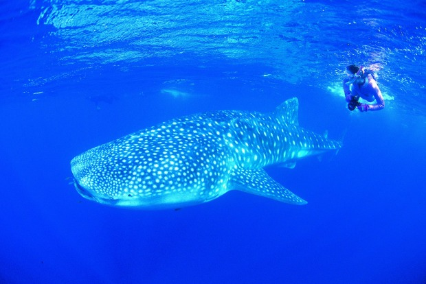 Swimming with whale sharks Ningaloo Reef, Western Australia.