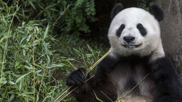 Giant panda Bai Yun enjoys munching on bamboo.