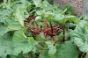 Rhubarb leaves: Seemingly innocuous, the green leaves of a rhubarb plant contain oxalic acid, a toxin that forms harmful ...