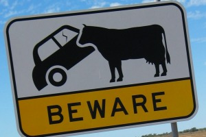 Car-eating cows in Queensland.