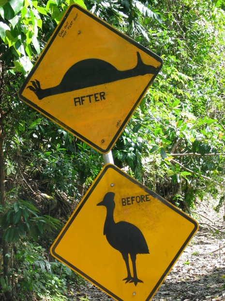 Daintree cassowaries. Sometimes a picture really is worth 1000 words, or in this case, two pictures. This artfully ...