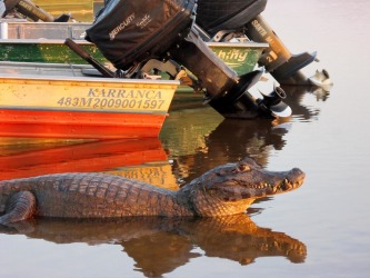 At the Rio Mutum Lodge on the Pantanal wetlands in Brazil, the wildlife come right to the door. This local caiman was enjoying the early morning sunshine at the boat ramp, hoping for some piranha scraps from the fisherman.