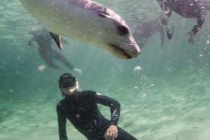 Playing with sea lions with Baird Bay Ocean Eco Experience.