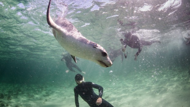 Swim With Sea Lions In Eyre Peninsula South Australia