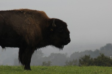 American Bison in Southern England. Found these amazing creatures in Yeovil, Somerset when travelling through England.