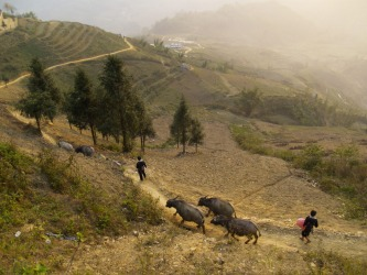 Local village boys from the valleys of Sapa, Vietnam herd their buffaloes home in the golden light of sunset.