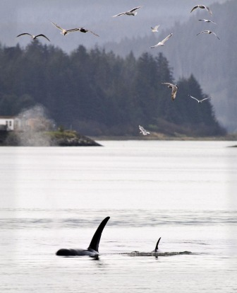 Gulls follow a pod of three orcas north of the Douglas Bridge in the Gastineau Channel of Juneau, Alaska.